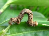 면 Bollworm 살인자, Lambda Cyhalothrin+Methomyl 적능력