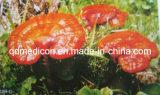 De Bes van Goji van het Uittreksel van de installatie, Ginsengen, Ginkgo Biloba, Ganoderma Lucidum
