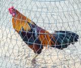 [هيغقوليتي] سعر جيّدة يغلفن سداسيّة [وير مش] دجاجة تشبيك