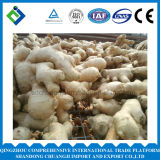 Chinesischer frischer Ingwer/beinahe trockener Ingwer mit Qualität