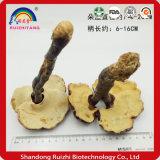 Tilo americano / Wild Ganoderma lucidum / Reishi / seta Lingzhi