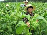 Fertilizante orgánico del potasio el 45% del aminoácido