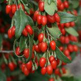 日光によってGojiの乾燥される果実(Wolfberry)