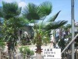 Вал Aritificial Washingtonia Filifera сбывания Dongguan горячий