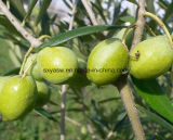 10% naturale 40% Hydroxytyrosol dall'estratto verde oliva del foglio