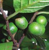 Polvo natural del extracto de Pygeum Africanum de la fábrica