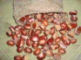 2016 Nouvelle exportation biologique 40-60 Châtaigne fraîche