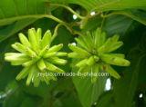 Ingrediente anticancro naturale puro Camptotheca Acuminata Extract/98% Camptothecin