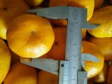 Mandarine neuve de la Chine de bonne qualité de récolte de destiné à l'exportation