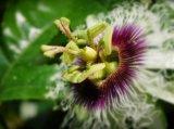 Passionflower-Auszug für Nahrungsmittel und Ergänzung