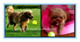 Hundetennis-Kugel-Haustier-Spielzeug