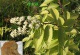 Выдержка Tripterygium, выдержка Tripterygium Wilfordii
