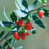 セイヨウカリンGMPの製造のサンプル自由な有機性Wolfberry