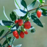 Mispel GMP-Fertigung-Probe freies organisches Wolfberry