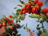Cinese tradizionale natale Wolfberry secco alimento