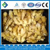 Gengibre rico do fazendeiro/gengibre fresco chinês