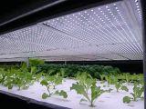 O diodo emissor de luz Ultra-Thin de 21mm cresce claro para fábricas da planta de sistema Multi-Layer do cultivo