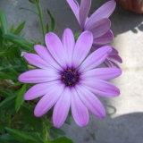 ジョチュウギクのエキスの粉かジョチュウギクCinerariifolium Trev