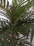 Aritificial 우아한 단 하나 폴란드 Chrysalidocarpus Lutesens Bonsai