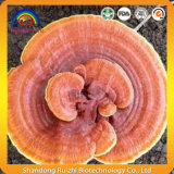 Concentrado quebrado Ganoderma Lucidum Powder