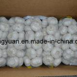 Ail blanc normal chinois (4.5cm, 5.0cm, 5.5cm, 5.5cm, 6.0cm)