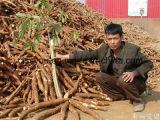 기계를 만드는 카사바 타피오카 생산 공정 라인 감자 녹말