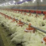 Casa de galinha pré-fabricada das aves domésticas da construção de aço com equipamento do jogo cheio