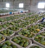 Polvo inmediato de la fruta de la papaya