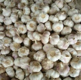 Neues Getreide Jinxiang weißer Knoblauch (4.5cm, 5.0cm, 5.5cm, 6.0cm)
