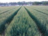 Beste Micronutrients van het Humusachtige Zuur van de Meststof van de Meststof van Liquiid van het Humusachtige Zuur van de Prijs van de Kwaliteit Betaalbare Organische Vloeibare