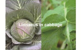 Neues Insektenvertilgungsmittel-Formulierung Wdg Lufenuron&Emamectin Benzoat