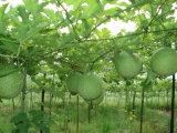 معيار عارية صاف طبيعيّة [سنكغورد] ثمرة مقتطف مسحوق