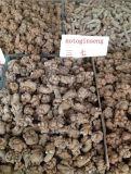 Extracto 100% de Notoginseng de la raíz de la hierba de Sanchi