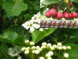 Het Uittreksel van de haagdoorn, vitexin-2-o-Rhamnoside, Rhamnosylvitexin, Crataegus Pinnatifida