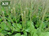 5:1 naturale dell'estratto del plantano di 100%; 10:1