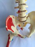 Modelo humano marcado Huesos esqueléticos de Enseñanza Médica (R020712)