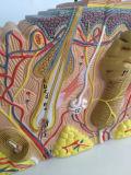 Medizinischer Unterricht vergrößertes menschliche Haut-anatomisches Modell (R160110)