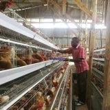 Système automatique de cage de poulet de cage de poulet de couche