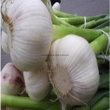 Чеснок нового урожая красный, свежий чеснок, белый чеснок