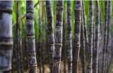 100% Octacosanol e extrato de cana de açúcar Policosanol para suplemento alimentar