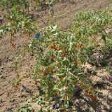 Inheemse Natuurlijke voeding Rode Wolfberry