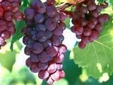 Cemento Portland comune dell'estratto del seme dell'uva