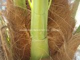 Напольные 7 даты метров пальмы Seaweed