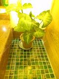 خضراء [غلدستر] [شنس] فسيفساء