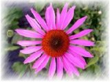 Het Poeder van het Uittreksel van Echinacea (SHE004)