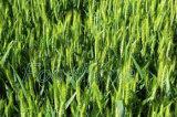 Chlorure 98%Tc, SP de 80%, constructeur de chlorméquat de régulateur de croissance de plantes de haute performance de 50%SL Chine