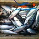 De normale Vreedzame Makreel van de Grootte in Voorraad (PM012)