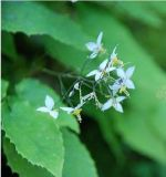 Выдержка Epimedium, роговая выдержка Epimedium Weed козочки для дополнения еды