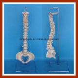 Modello flessibile classico della spina dorsale con il modello femminile dello scheletro del bacino