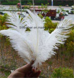 Pena natural de avestruz para decoração e festa